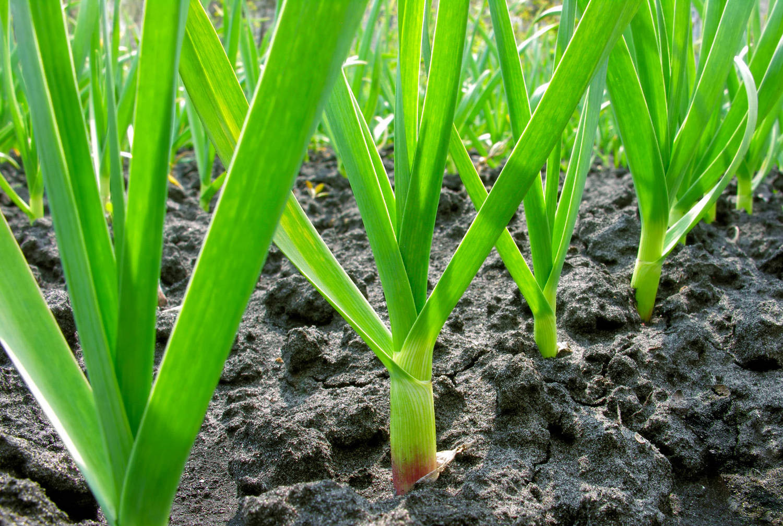 Все о выращивании и уходе за чесноком в открытом грунте