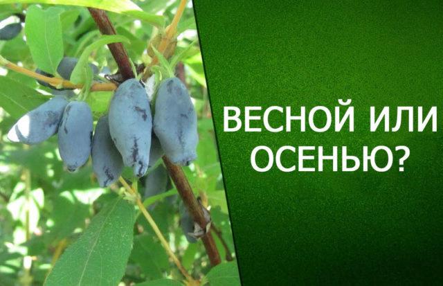 Образка жимолости весной или осенью