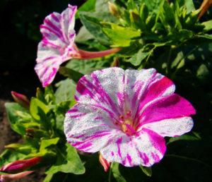 Мирабилис в саду