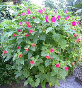 Болезни мирабилиса и вредители цветка