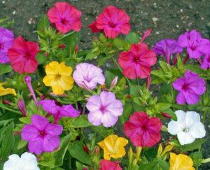 Разновидности цветка мирабилис