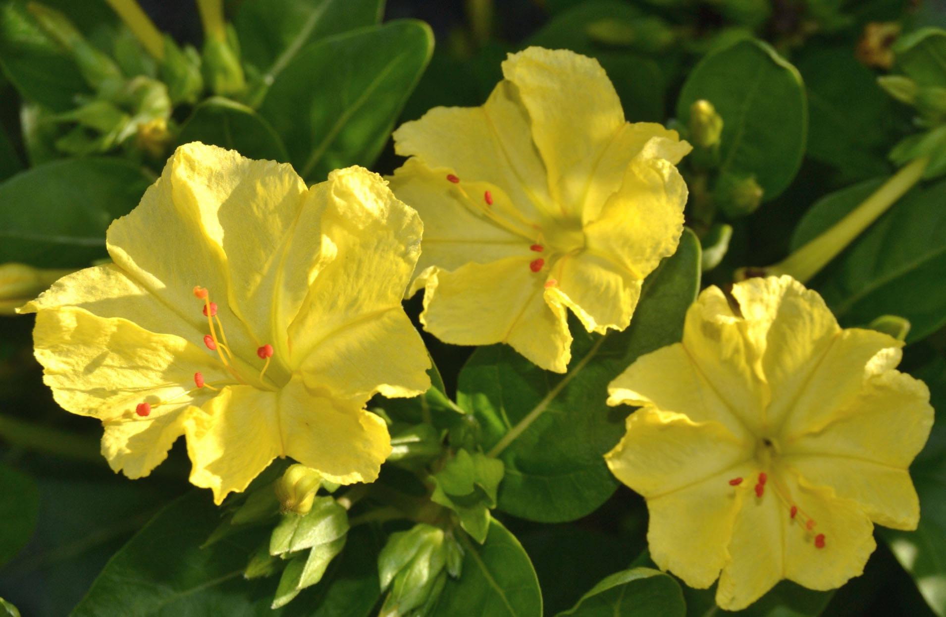 Мирабилис (фото цветов) - советы, секреты, рекомендации