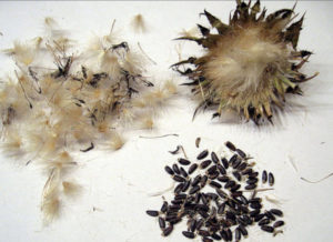Сбор семян монарды