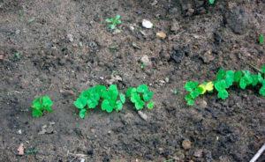 Высадка рассады на постоянное место в грунте