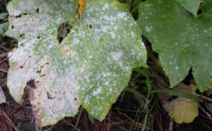 Антракноз на листьях огурцов