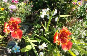 Фото тигридии в саду