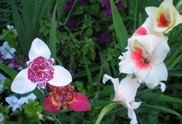Посадка цветка в открытый грунт