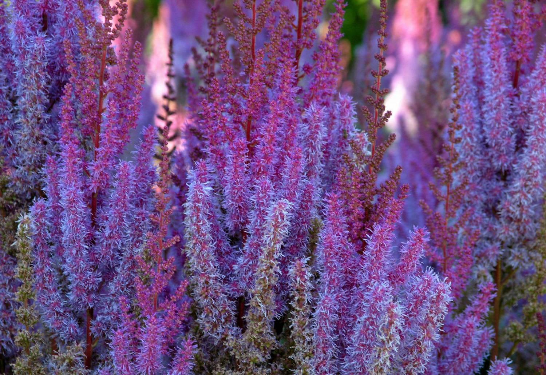 Астильба японская: описание и выращивание