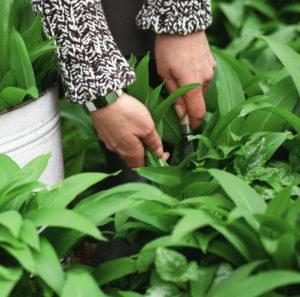 Как вырастить черемшу в огороде - советы по выбору сорта и правила агротехники