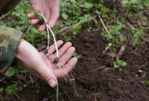 Размножение черемши луковицами