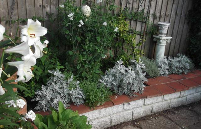 Сочетание Цинерарии с другими растениями