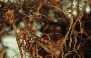 Земляничная и галловая нематоды на астильбах