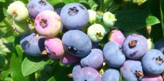 Посадка и выращивание голубики в саду