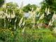 Выращивание клопогона на дачном участке