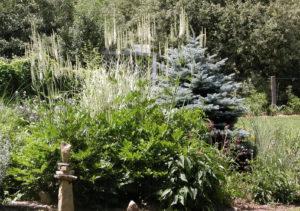 Клопогон с другими растениями в саду