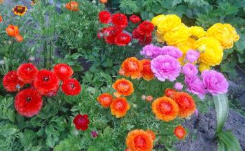 Выращивание садовых лютиков