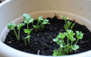 Проращивание семян лютиков