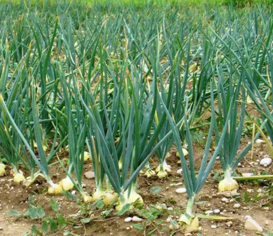 Агротехника выращивания лука репчатого