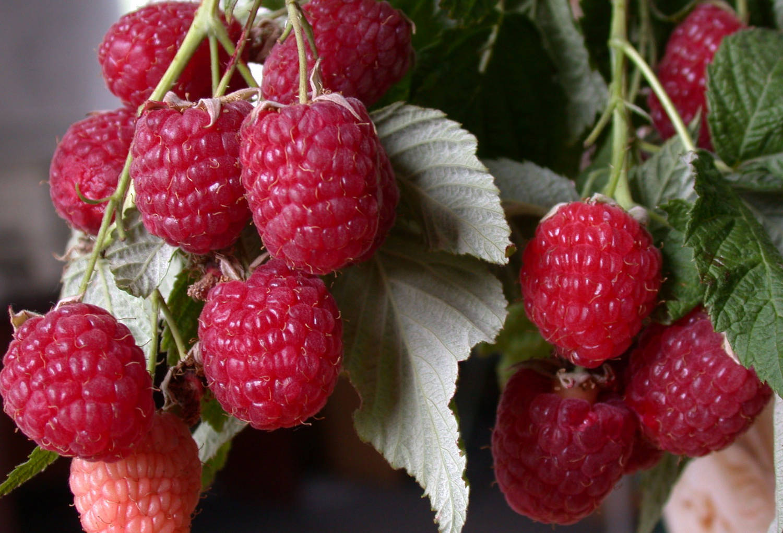 Как правильно выращивать малину в открытом грунте?