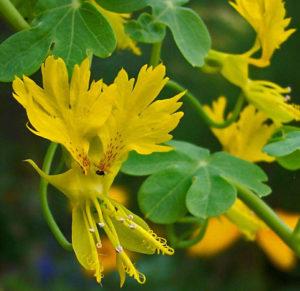 Настурция иноземная (tropaeolum peregrinum)