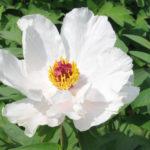 Сорт Белый феникс