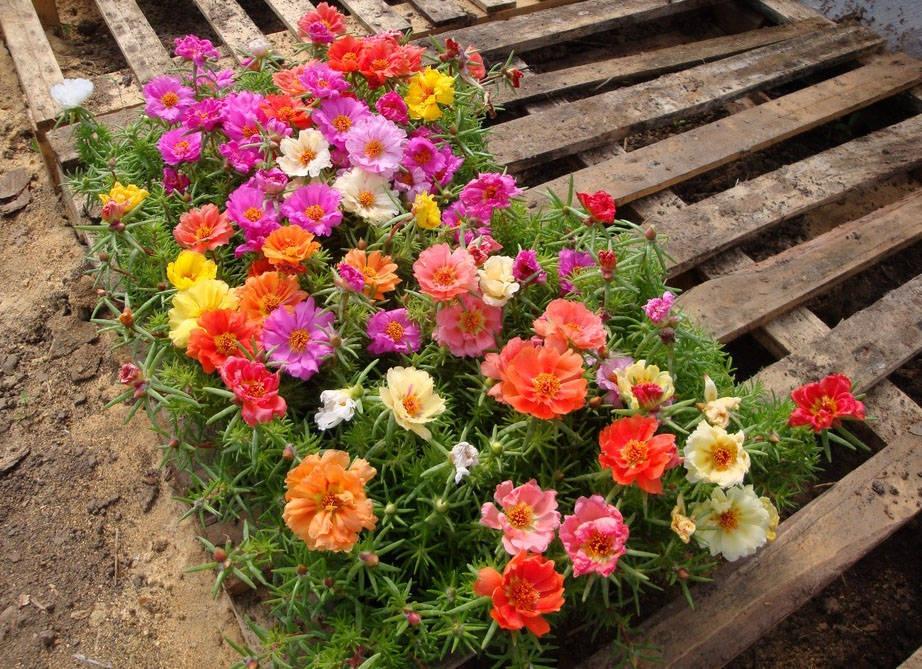 Портулак выращивание из семян фото