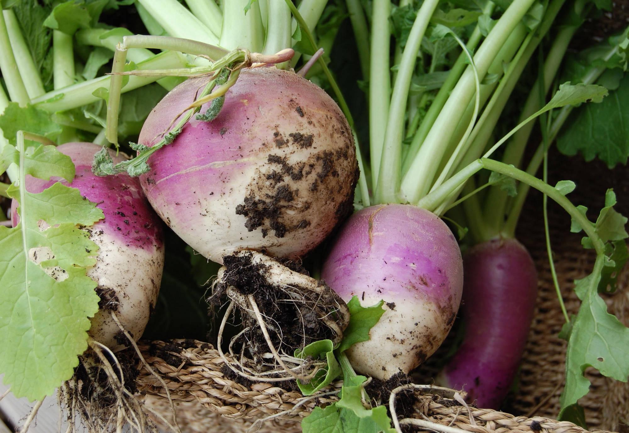 Репа: выращивание и уход в открытом грунте, как сажать, сколько растет и созревает