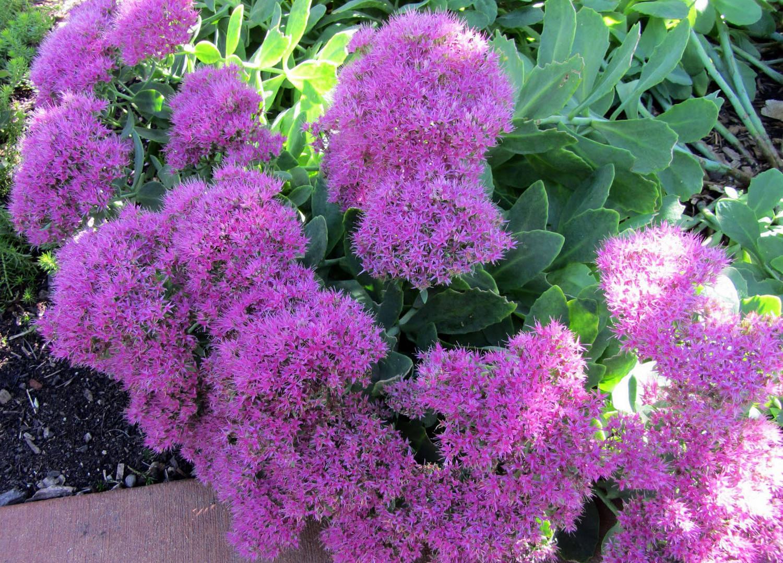 Очиток 76 фото описание цветка седум посадка и уход за растением в открытом грунте использование в ландшафтном дизайне сада выращивание в горшке в домашних условиях