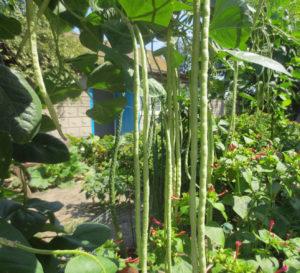 Уход в открытом грунте за спаржевой фасолью