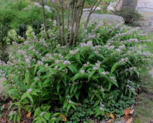 Трициртис в сочетании с другими садовыми растениями