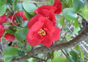 Цветок Николины
