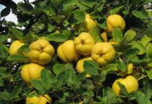 Плоды айвы обыкновенной