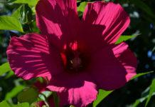 Садовый цветок гибискус