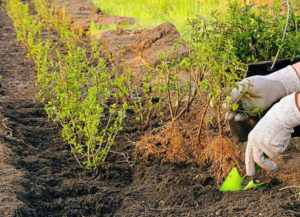 Использование кустарника для живой изгороди