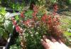 Правила ухода за кустарником барбариса