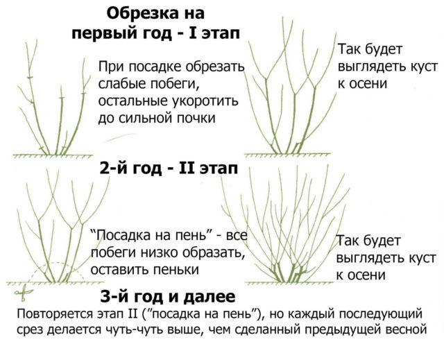 Правила обрезки кустарника барбариса