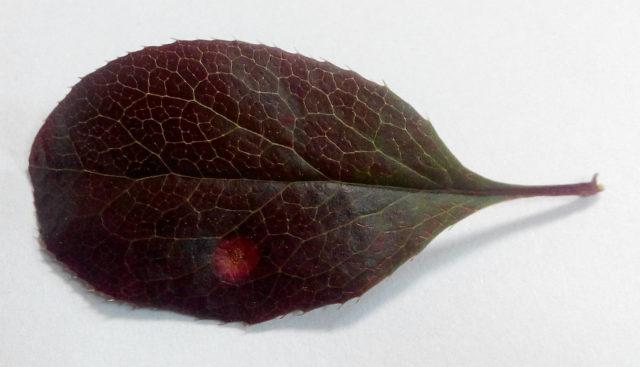 Бактериоз на листьях барбариса