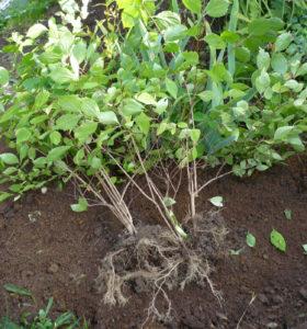 Саженцы жасмина из семян