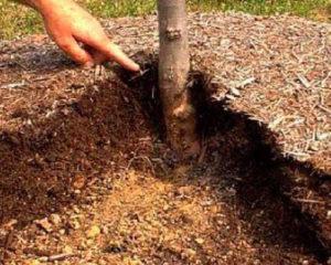 Мульча для черничного дерева