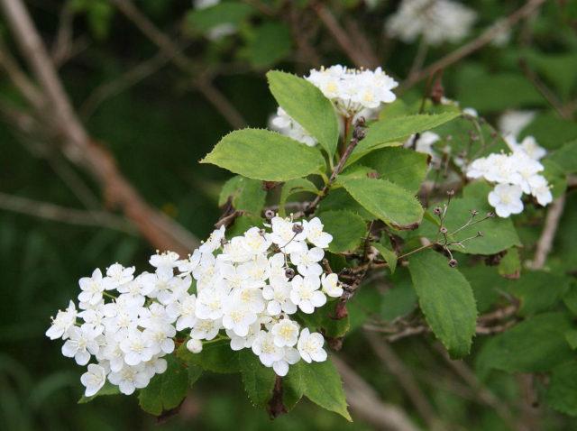 Дейция амурская, мелкоцветковая