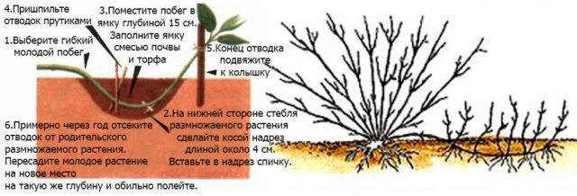 Размножение вереска отводками