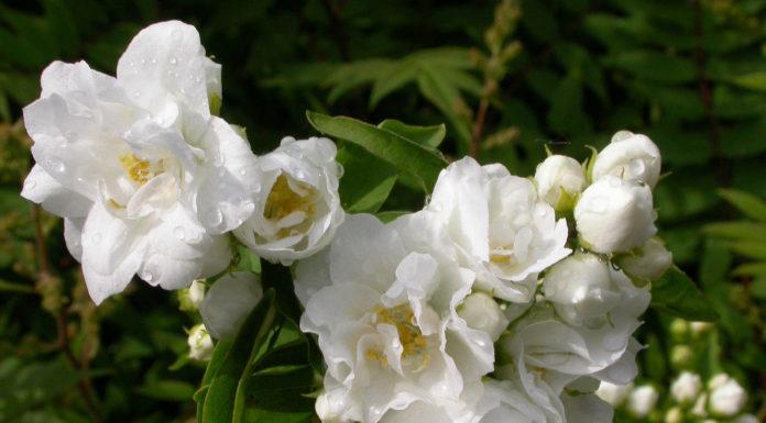 Жасмин садовый Белый букет