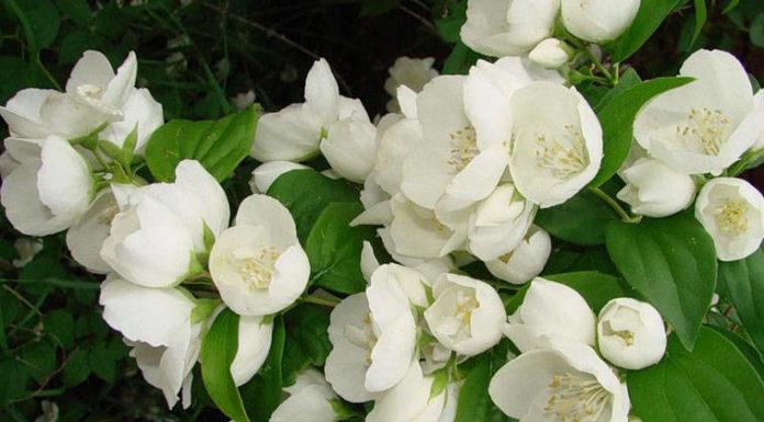 Чубушник Каменный цветок