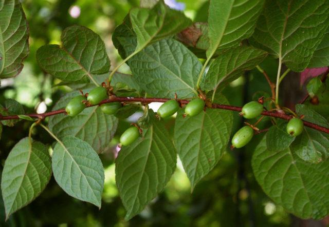 Здоровая лиана актинидия