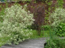 Выращивание дерена в открытом грунте