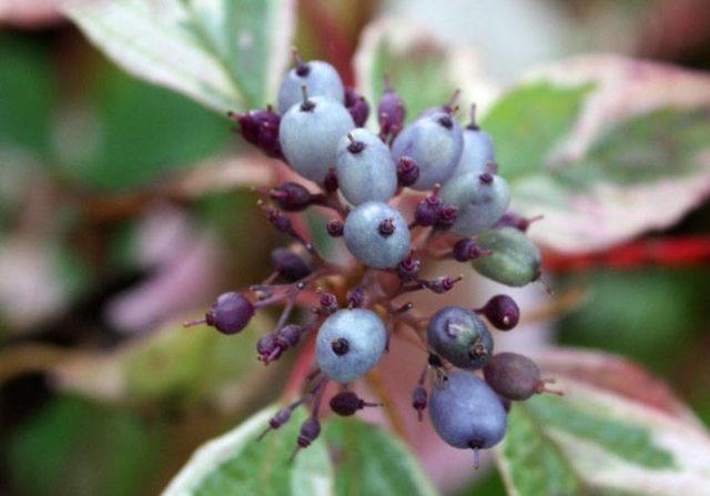 Размножение дерена с помощью семян