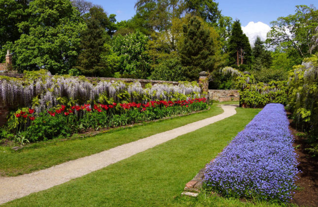 Фото глицинии в саду