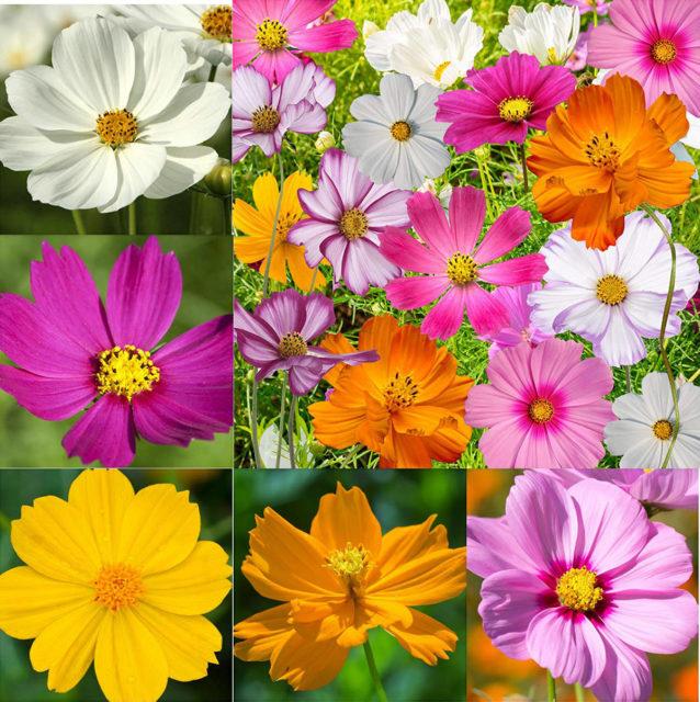 Разновидности космеи в саду