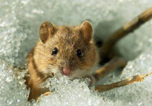Мыши-вредители кустарника