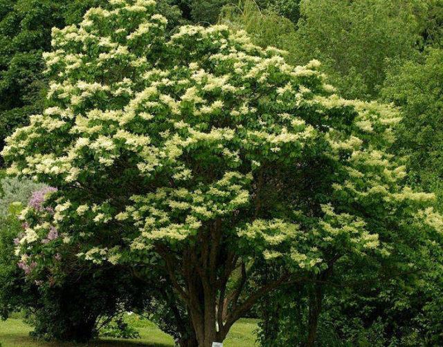 Дерево сирень Амурская или Трескун